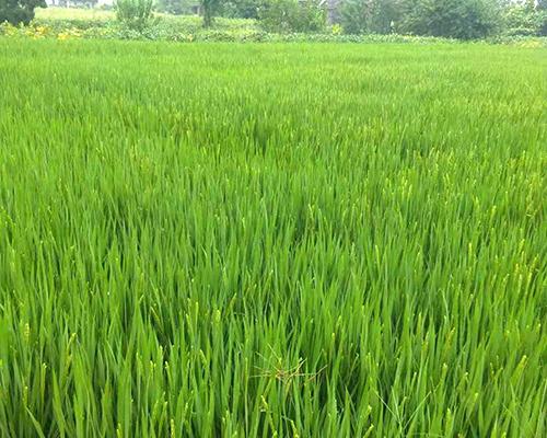 大米种植基地