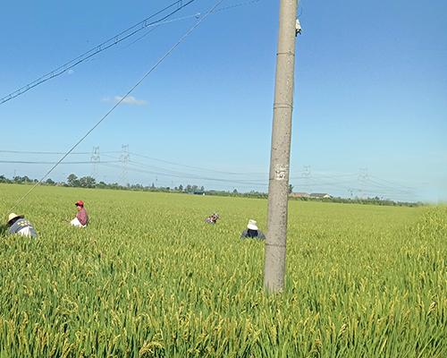 绿色大米种植