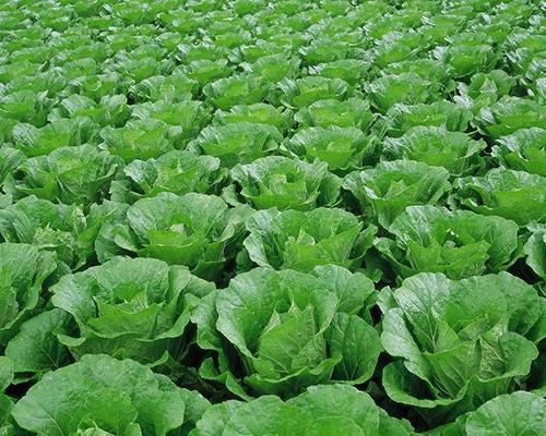 有机蔬菜批发