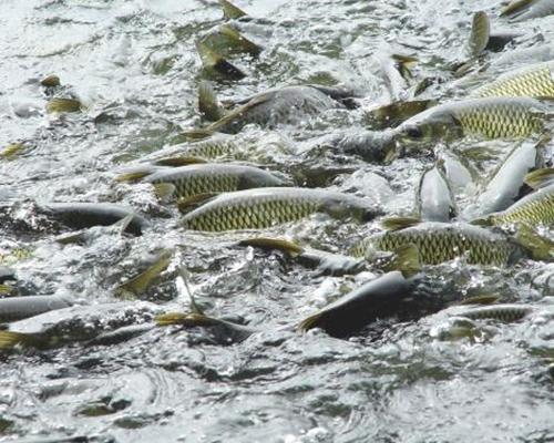 生态鱼价格