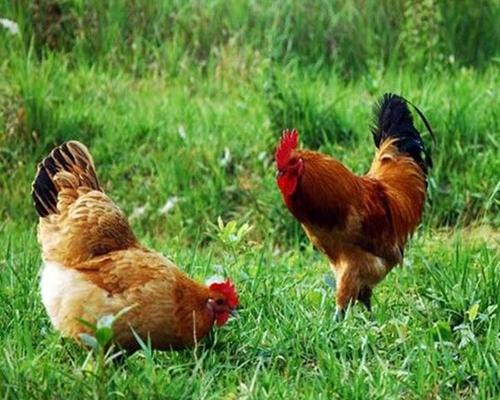 生态放养土鸡