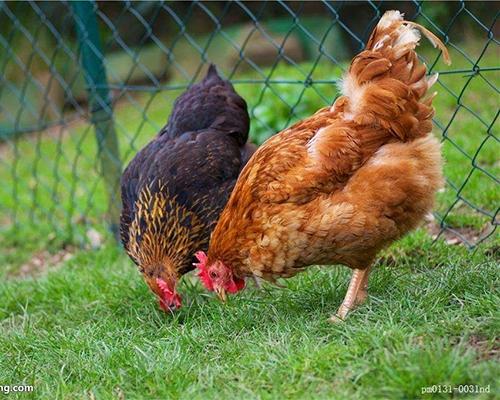 生态鸡销售