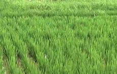 大米供应商告诉你如何知道购买的大米是否好?
